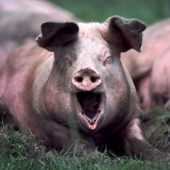 饥饿猪的图片可爱